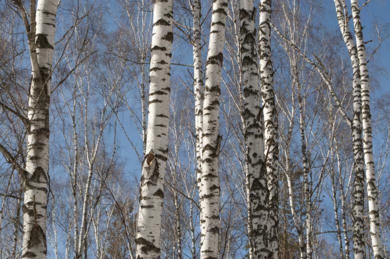 Free Stock Photo of Birch Trees Created by Berdnik Oleksander