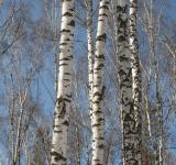 Free Photo - Birch Trees
