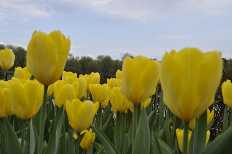 Free Stock Photo of Yellow Tulips Created by Berdnik Oleksander