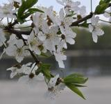 Free Photo - White Cherry Flowers