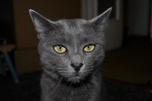 The gray Cat - Free Stock Photo