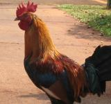 Free Photo - Hawaiian chicken