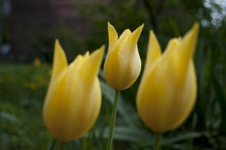 Download Tulips Free Photo