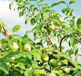 Free Photo - Apple tree