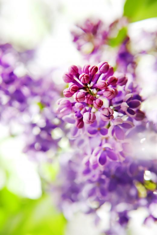 Purple Flowers - Free Floral Backgrounds