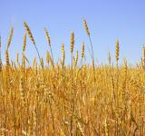 Free Photo - Wheat