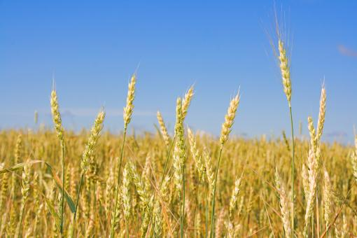 Wheat  - Free Stock Photo