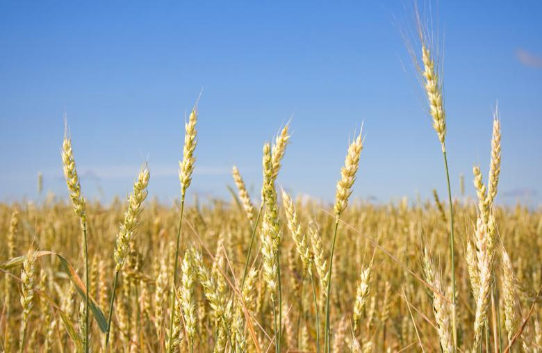 Free Stock Photo of Wheat  Created by 2happy