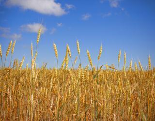 Wheat  Free Photo