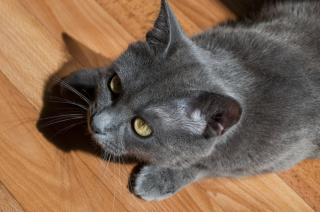 Gray cat Free Photo