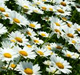 Free Photo - Daisies Closeup