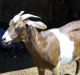 Free Photo - Small Goat