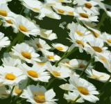 Free Photo - Illustrated Daisies