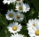 Free Photo - Daisies