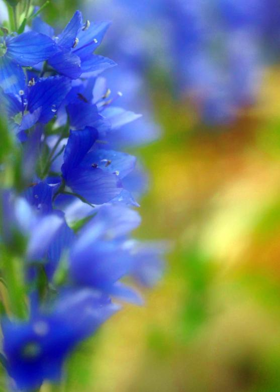 Free Stock Photo of Blurrd Blue Flowers Created by William Martin