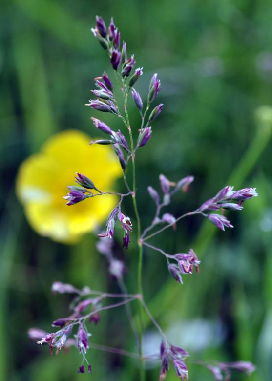 Wild Grass with Flower Free Photo