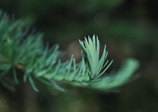 New Growth PIne Free Photo