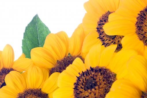 Sunflowers - Free Stock Photo