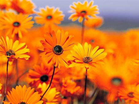 Orange flowers - Free Stock Photo