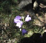 Free Photo - Mountain blue bell