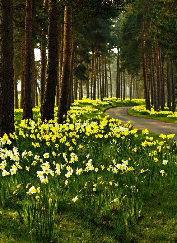 Free Stock Photo of Daffodil Road Created by Jason Clark