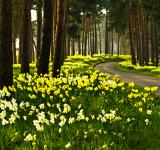 Free Photo - Daffodil Road