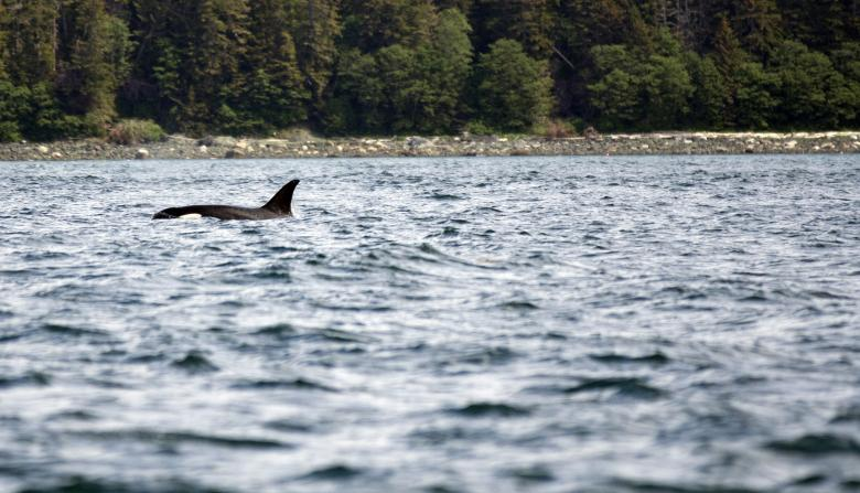 Free Stock Photo of Orca Created by Chris Adzima