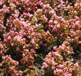 Free Photo - Little Pink Flowers
