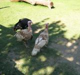Free Photo - Turkeys