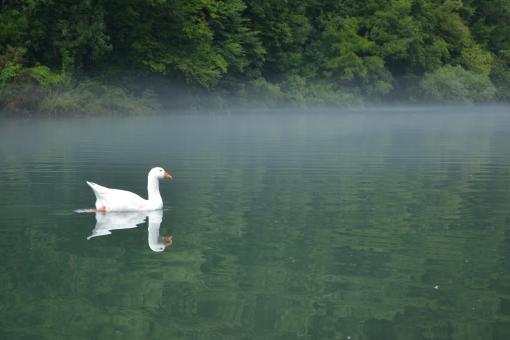 Swan on a river - Free Stock Photo