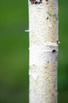 birch - Free Stock Photo