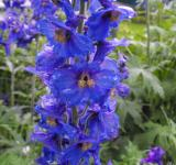 Free Photo - Blue and purple flower