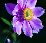 Free Photo - Purple Japanese Anemone
