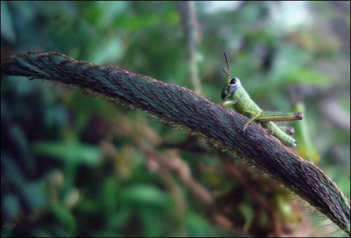 Grasshopper on wire - Free Stock Photo