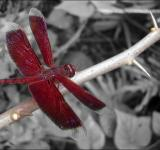 Free Photo - Red Dragon Fly