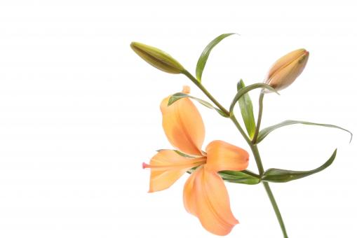 Orange lilly - Free Stock Photo