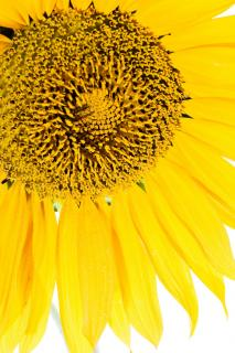 Download Sunflower  Free Photo
