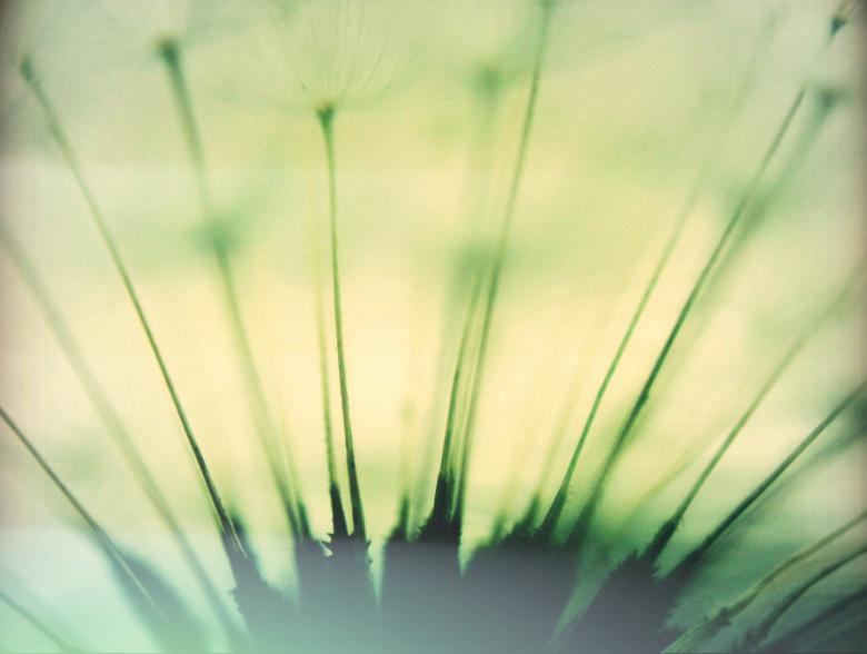 Soft Dandelion - Free Organic Backgrounds