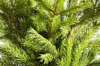 Download Pine branches Free Photo