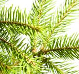 Free Photo - Pine branches