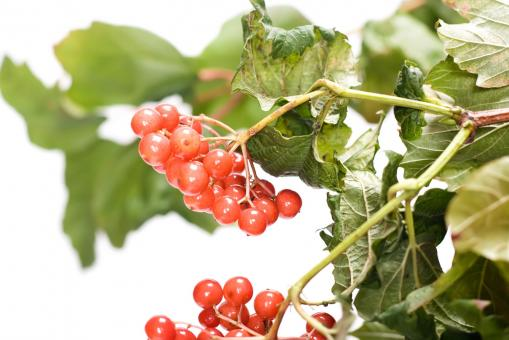red berries - Free Stock Photo