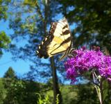 Free Photo - Broken Wing Butterfly