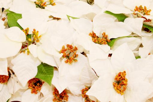 White Christmas flowers - Free Stock Photo