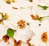 Free Photo - White Christmas flowers