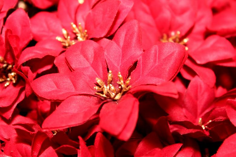 Free Stock Photo of Red poinsettia Created by Val Lawless