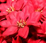 Free Photo - Red poinsettia