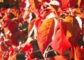 Free Photo - Red Leaves