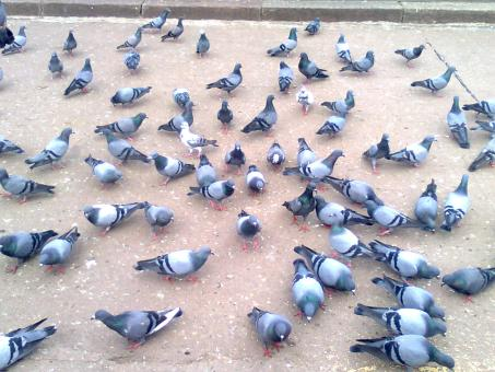 Pigeons On Ground - Free Stock Photo