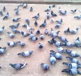 Free Photo - Pigeons On Ground
