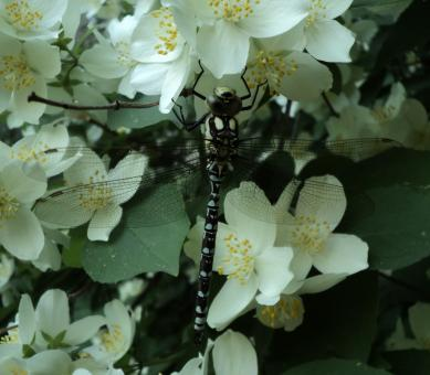 Dragonfly on jasmine - Free Stock Photo